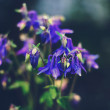Columbine flowers — Stock Photo