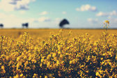 Meadow of yellow rapeseed and sky with clouds — Stock Photo