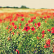 Poppy flowers in a meadow — Stock Photo