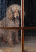 Dog in Rain Soaked Window — Stock Photo