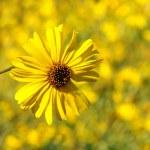 Yellow Daisy Closeup — Stock Photo
