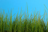 Green Grass Isolated on Blue — Stock Photo