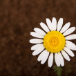 Daisy flower on brown — Stockfoto