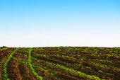 Green agricultural sow field and blue sky — Stock Photo
