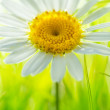 Daisy flower on yellow — Stock fotografie