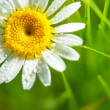 Daisy flower on green background — Stockfoto