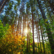 Sun Shining Through Forest Trees — Stock Photo