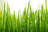 Green wet grass with dew on a blades — Stok fotoğraf