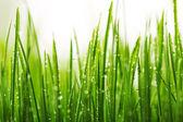 绿色湿的草与叶片上的露珠 — 图库照片