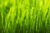 Green wet grass with dew on a blades — Stock fotografie