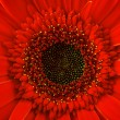 Red gerbera daisy, close up — Stock Photo