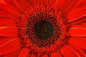 Red gerbera daisy, close up — Stock Photo