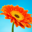 Orange gerbera daisy flower isolated on blue background — Stock Photo