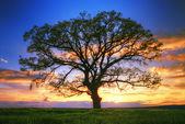 Wielkie drzewo sylwetka, zachód słońca — Zdjęcie stockowe