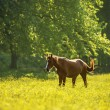 Horse on flower meadow — Stock Photo #50966481