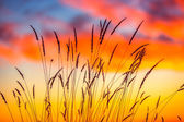 Field of grass during sunrise — Stock Photo