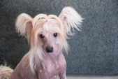 Chinese crested puppy dog — Stock Photo