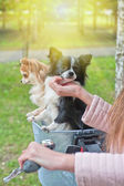 Bicycle walking with chihuahua — Stock Photo