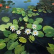 Water Lilies — Stock Photo #16897503