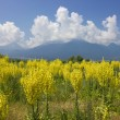 Stock Photo: Yellow field of Mullein with Pirin Mountains