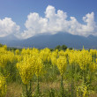 Yellow field of Mullein with Pirin Mountains — Stock Photo