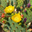 Blooming Cactuses Cactaceae Opuntia — Stock Photo