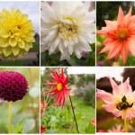 Dahlia and Autumn Flower Collage — Stock Photo #34259713