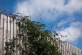 フェンスの上の情熱の花植物 — ストック写真