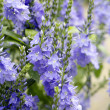 Stock Photo: Hungarian speedwell