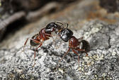 Carpenter ants (Camponotus herculeanus) — Stock Photo