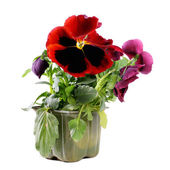 Red pansy — Stock Photo