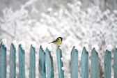 Tit on fence — Stock Photo