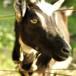 Portret of a goat — Stock Photo