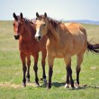Ranch horses — Stock Photo
