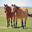 Ranch horses — Stock Photo #32724719