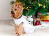Small doggie in a suit with tinsel, new year — Stock Photo