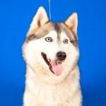 Dog husky — Stock Photo