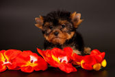 Puppy of a Yorkshire terrier — Stock Photo