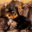 Puppy of a Yorkshire terrier — Foto Stock