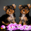 Two puppies of a Yorkshire terrier — Foto Stock