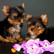 Two puppies of a Yorkshire terrier — Stock Photo