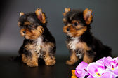 Two puppies of a Yorkshire terrier — Stockfoto
