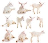 Set goat , isolated — Stock Photo