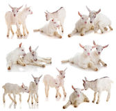 Set kids of a goat, isolated — Stock Photo