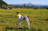Paint Colt and Mount Rainier — Fotografia Stock
