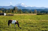 Paint Horse and Mount Rainier — Stock Photo