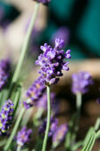 Lavender Flower in Garden — Stock Photo