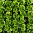Lettuce growing in the soil — Stock Photo #13883415