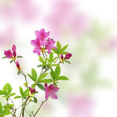 Pink azalea on white background — Stock Photo