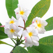 Frangipani or plumeria tropical flower — Stock Photo #14047497